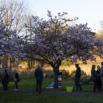 people meeting under the cherry tree in full bossom in Christ Church Gardens