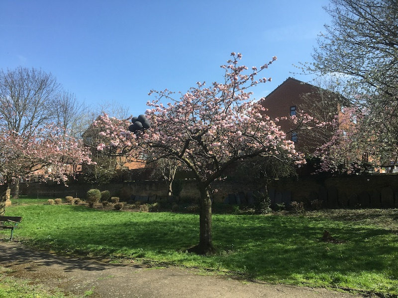 cherry blossom in full bloom in Christ Church Gardens with black balloons caught in a branch2018