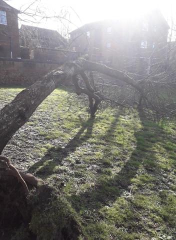 fallen cherry tree in christ church gardens, March 2020