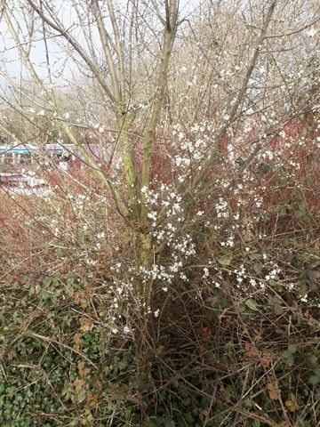 Hawthorn in flower in February along the canal in Nottingham, 2020