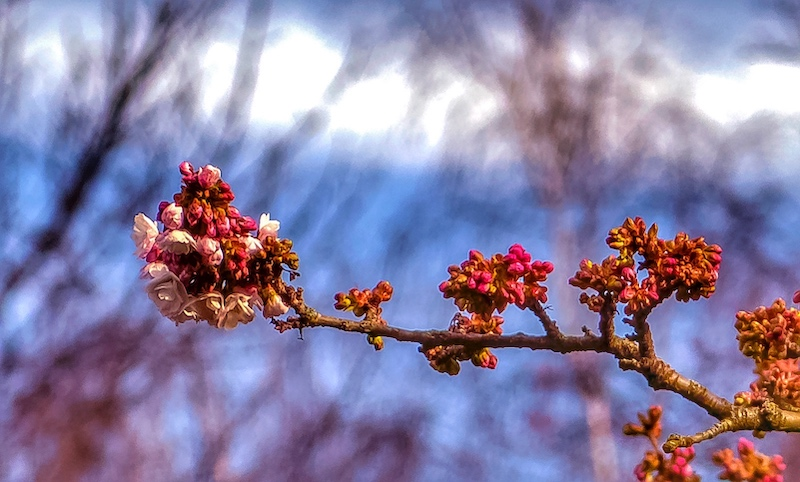 A branch with blossoms at the end, buds and a blurred background