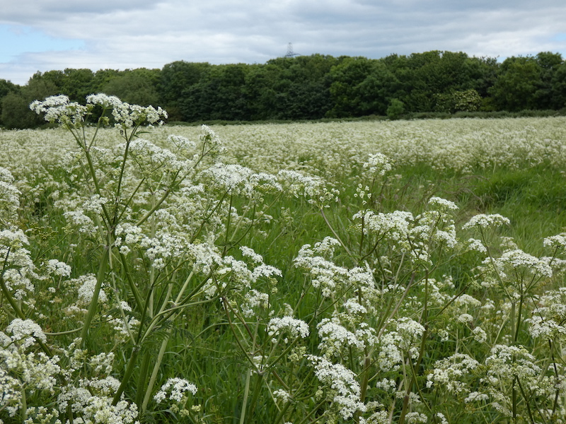 a field of cow parsley with trees on the edge and a cloudy sky