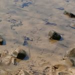 heron prints in the mud below the water in the River Leven, stones, yellow flowers