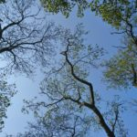looking up at the blue sky and a canopy of tall trees