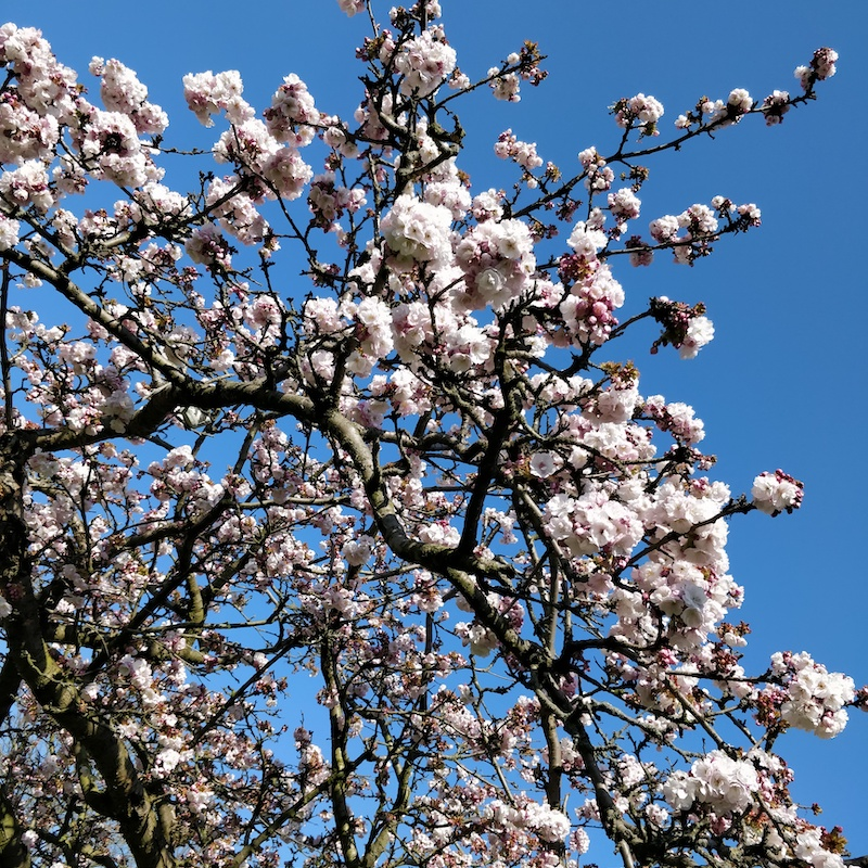 pink and white blossoms and branches of the tree against the blue sky
