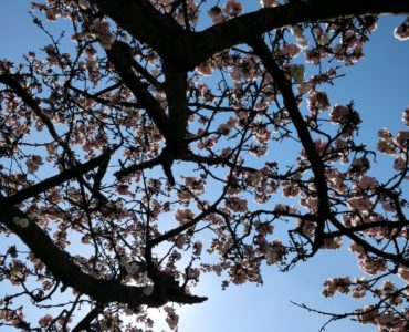 looking up at the branches, blossoms and blue sky
