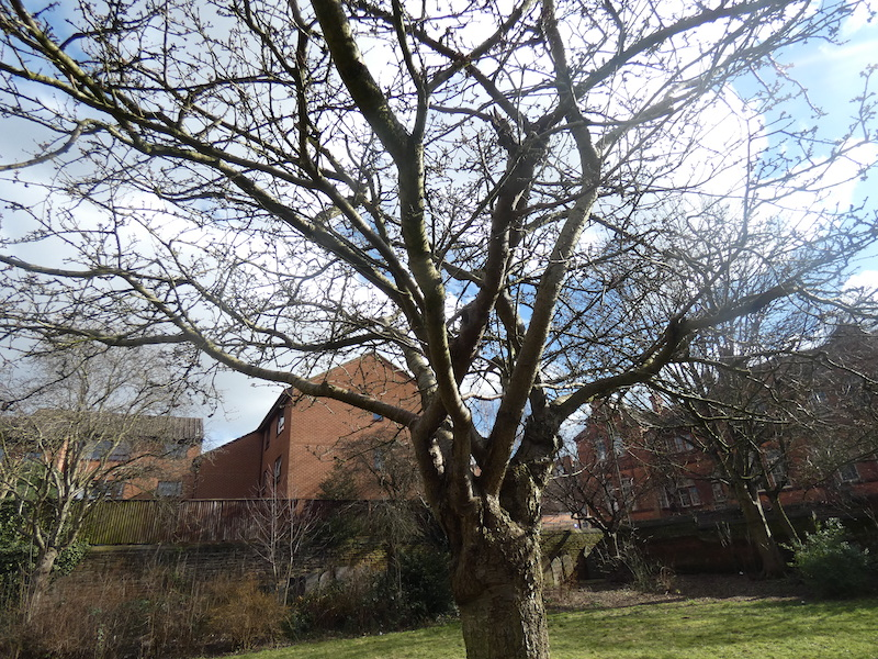 the blossom tree with tiny buds