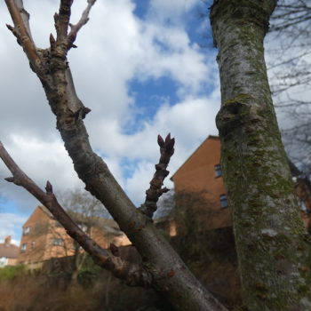 cherry tree blossom buds on the baby blossom tree in Christ Church Gardens 2021