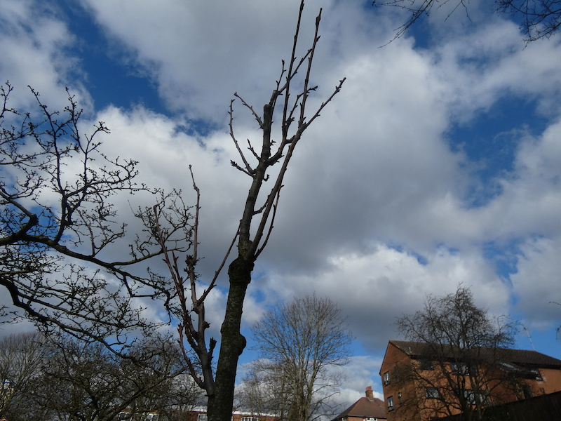 the baby blossom tree with tiny buds against a blue sky with fluffy clouds and roof tops