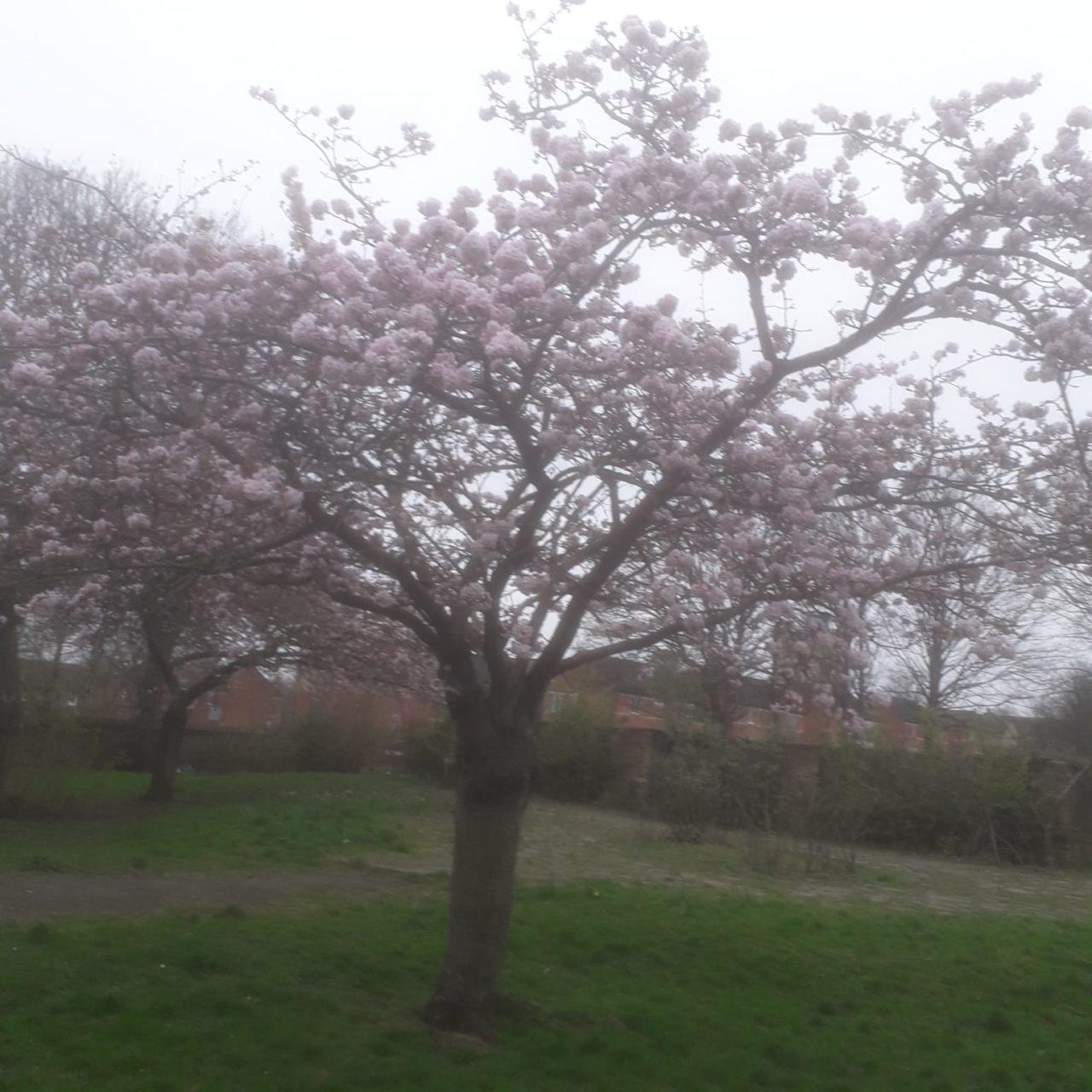 fully blossomed tree