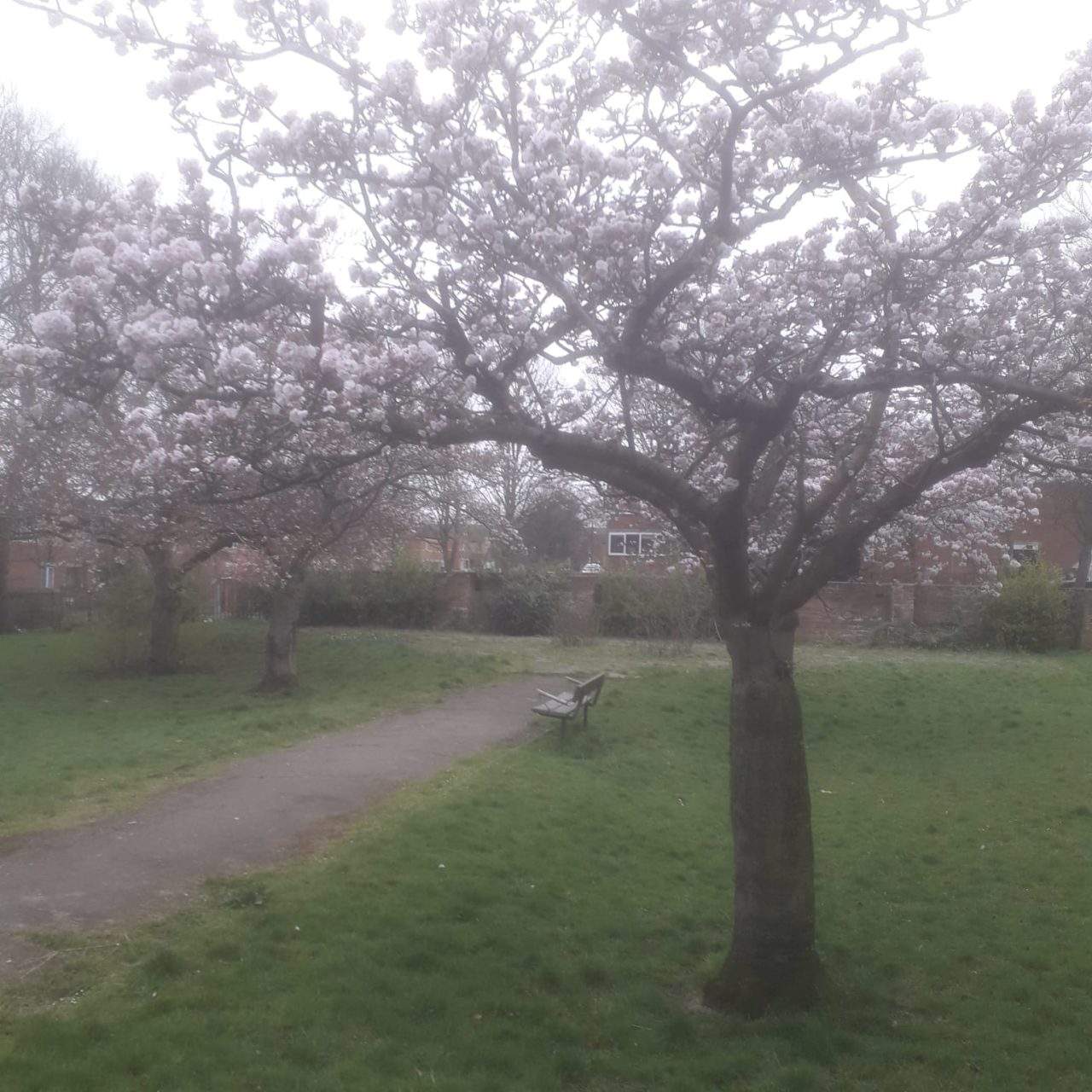 tree in full blossom and bench