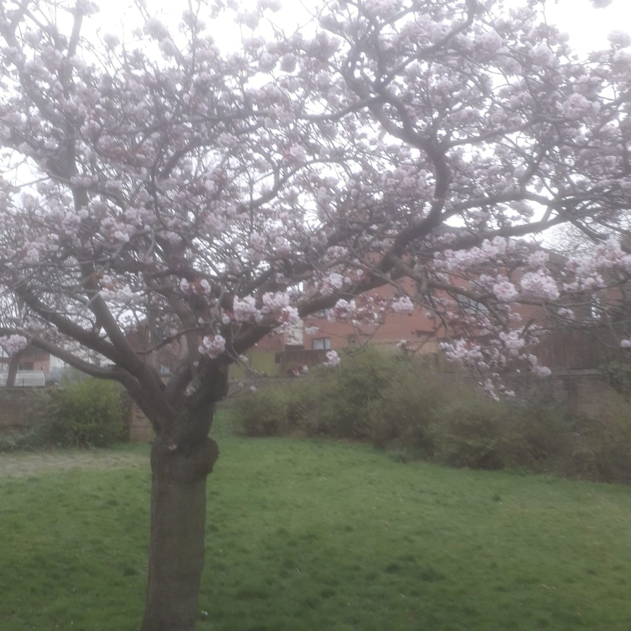the tree in full blossom