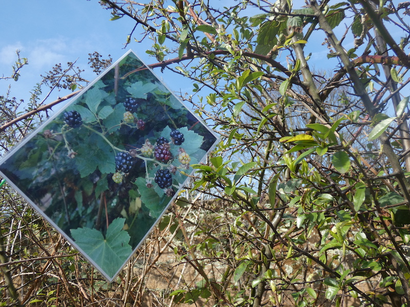 A blackberry bush with a photo of the bush fruiting blackberries in the summer