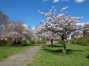 Looking down the path in Christ Church Gardens at 3 blossom trees all in bloom and the bench