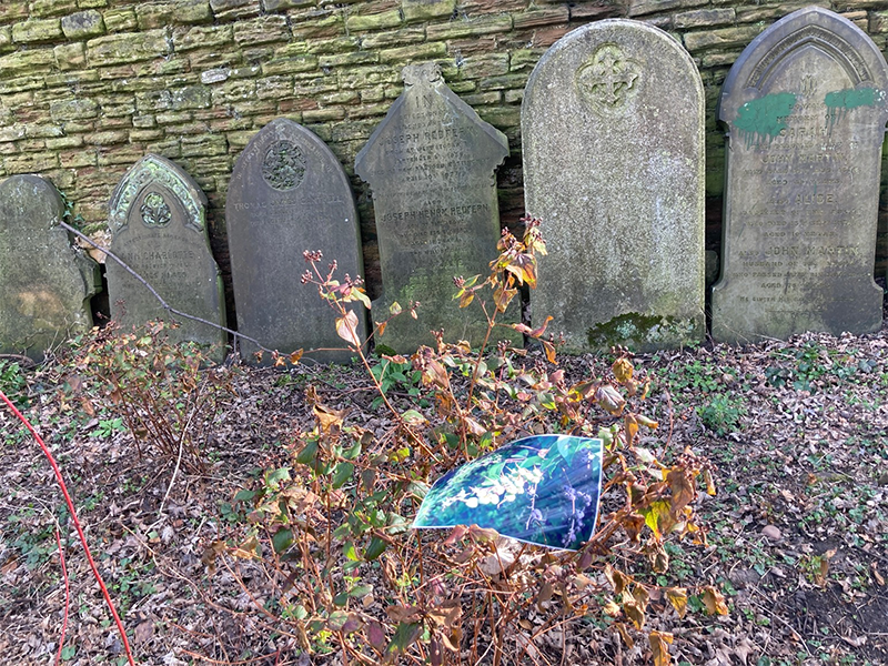 gravestones and Hypercium with a photo of the Hypercium in the summer hung on the bush