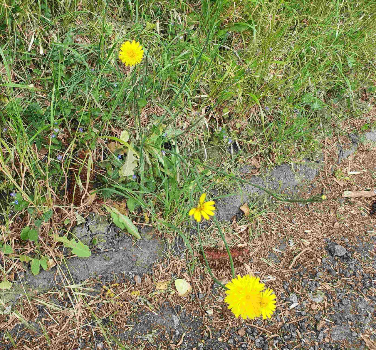 dandelions on a grassy kerb